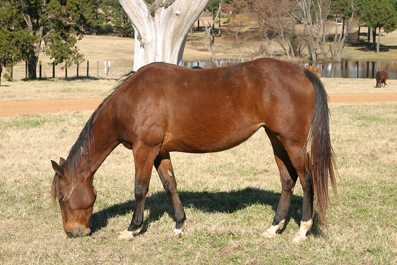 Taken with my Tamron 28-75 f/2.8 Lens. This is just one of the over 100 Head of Mares on the Ranch here. ~~~~~~~~~~~~~~~~~~~~~~~~~~~~~~~~~~~~ The Ranch has Horses for sale all year long. These are Registered Quarter Horses. For more info, call 1-580-298-2851