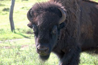 Ranch Stock - Hokukano Ranch, Kealekekua HI - Jul 09