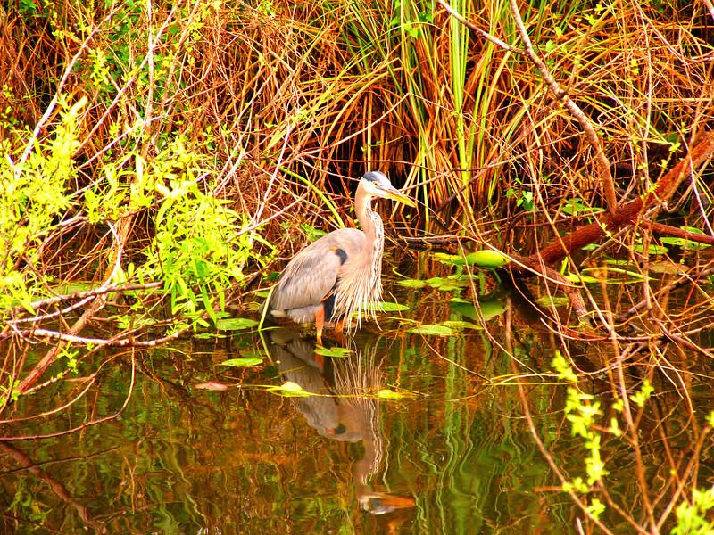 Blue Heron, Heron, great Blue Heron, poster, bird, birds, florida, everglades, the florida everglades, shore birds, water fowl