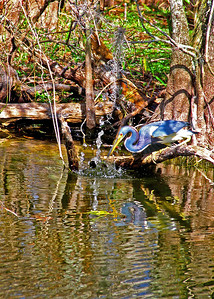 Blue Heron, Heron, great Blue Heron, poster, bird, birds, florida, everglades, the florida everglades, shore birds, water fowl