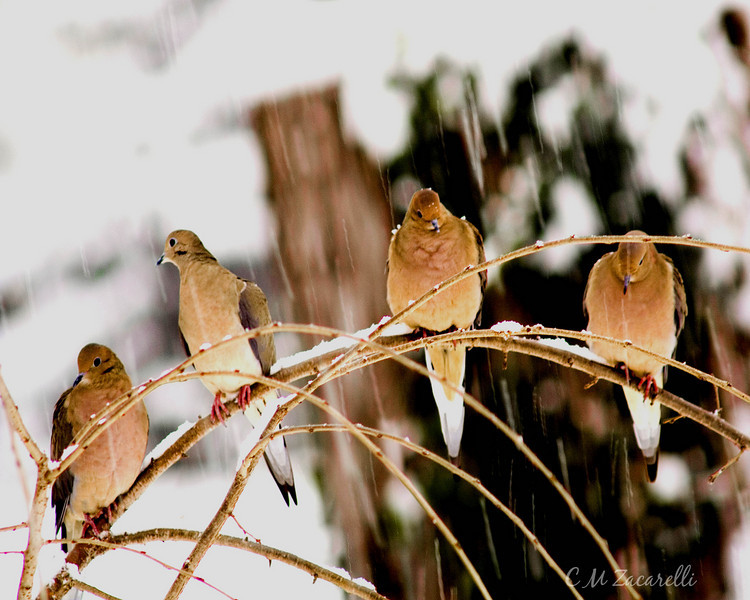 dove, doves, mourning doves, tree, branch, winter, snow, snowing