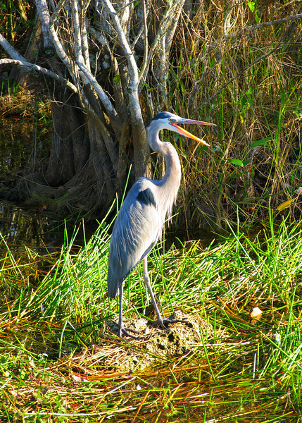 Blue Heron, Heron, great Blue Heron, poster, bird, birds, florida, everglades, the florida everglades,