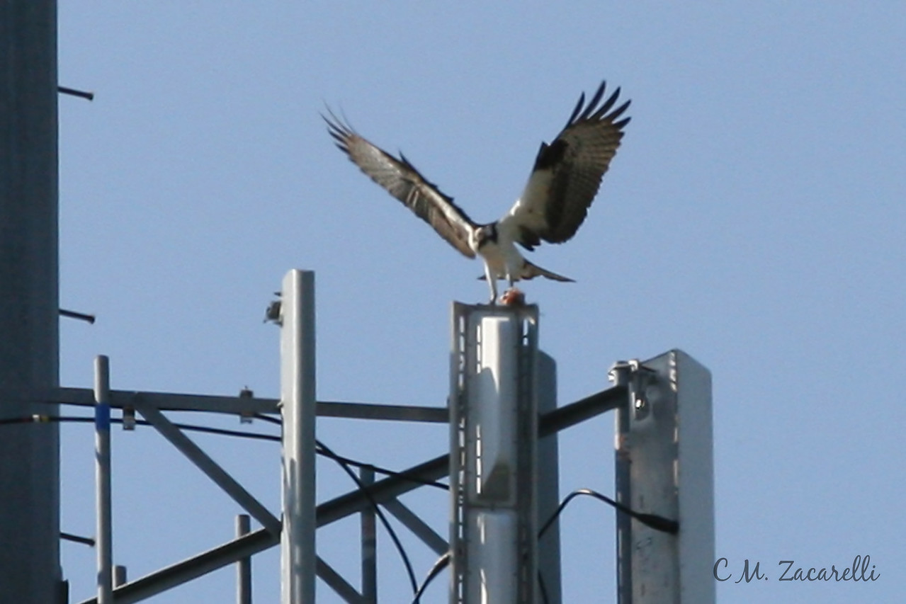 osprey nest, osprey flying, cell tower, nest, raptor