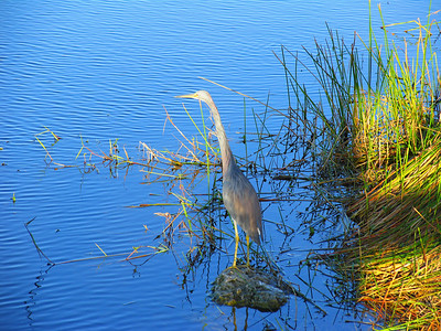 Blue Heron, Heron, great Blue Heron, poster, bird, birds, florida, everglades, the florida everglades, blue, water fowl, shore birds