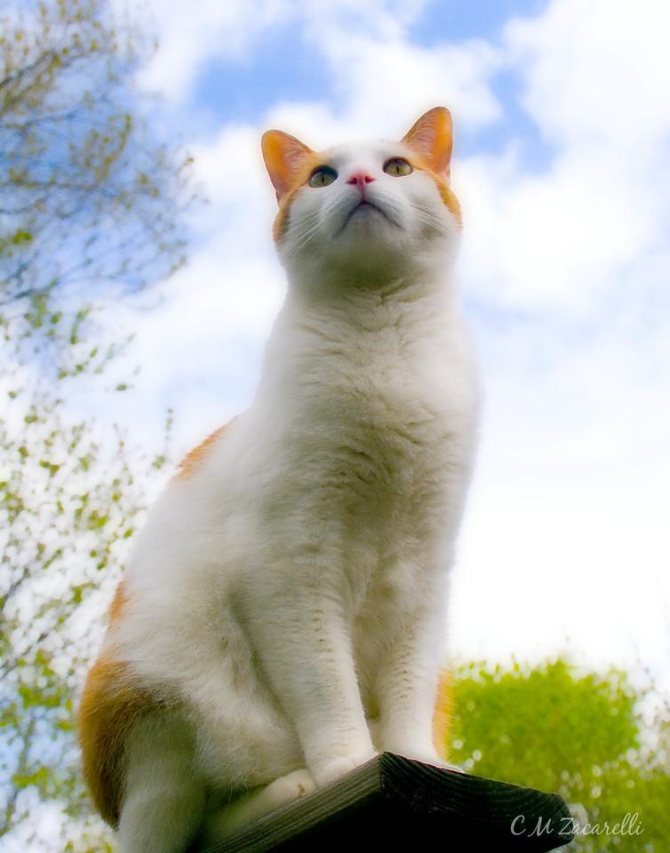 cat, kitty, pet, ty, tyty, tye, tye tye, orange and white, sitting,