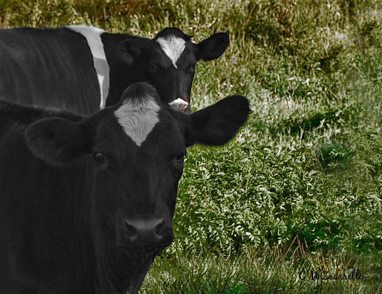 cow, cows, two cows, moo, looking, farm, scene, scenery, farm life, wallingford, ct.