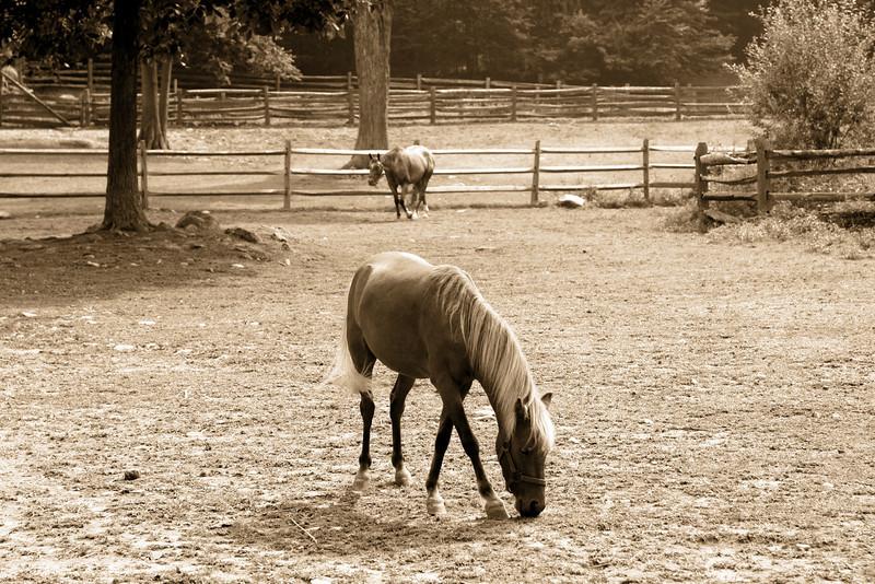 Horse, horses, field, pasture, eating, grazing, stamford museum, stamford ct, farm