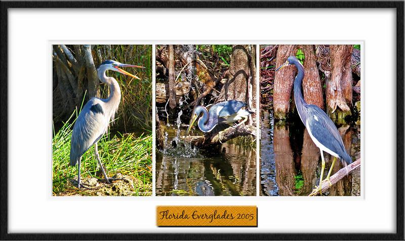 Blue Heron, Heron, great Blue Heron, poster, bird, birds, florida, everglades, the florida everglades,