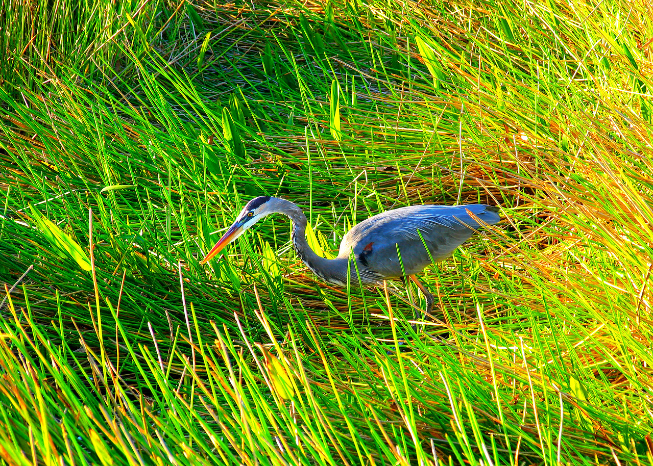 ,  Blue Heron, Heron, great Blue Heron, poster, bird, birds, florida, everglades, the florida everglades, shore birds, water fowl