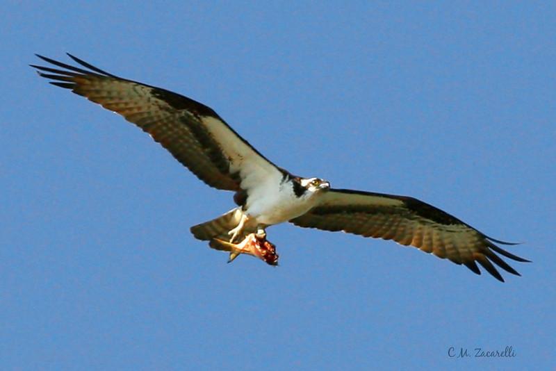 Osprey flying, osprey, fishing, eating. raptor