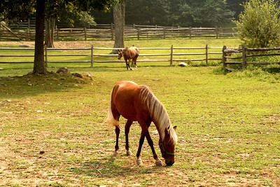 Horse, horses, field, pasture, eating, grazing, stamford museum, stamford ct, farm
