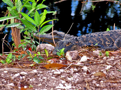 alligators, gators, alligator, babies, florida, big cypress, everglades,