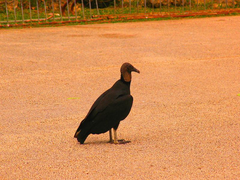 black volture, florida, everglades