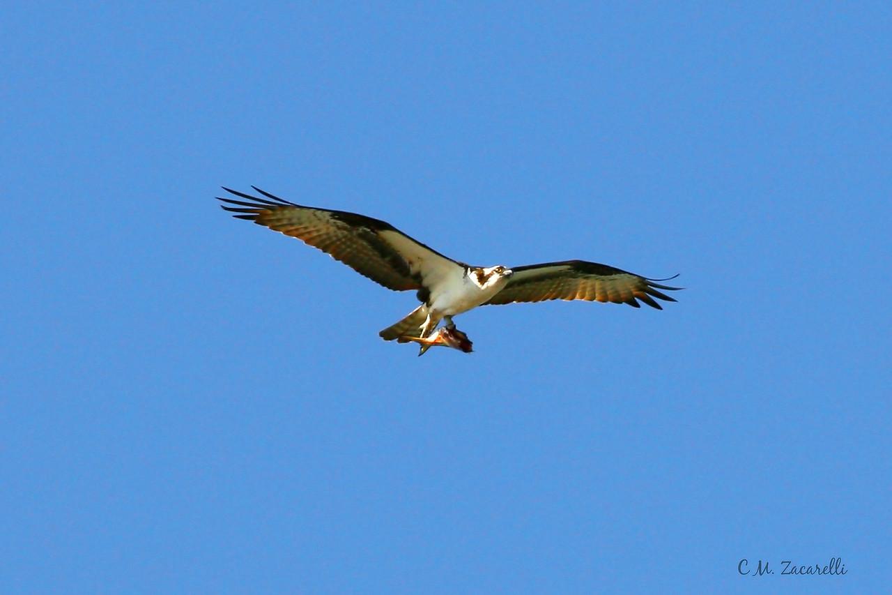 Osprey flying, osprey, fishing, eating. raqptor