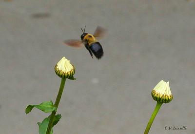 bee at Daiseys, Canon Digital Rebel XT, or 350D