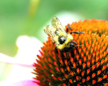 Bumble Bee on Cone flower, Canon pro 1