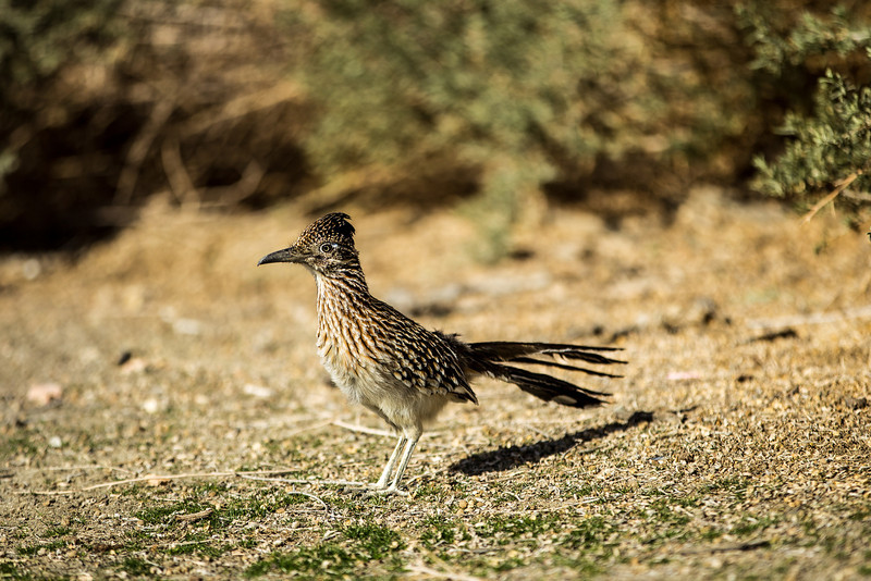 Roadrunner at Terra Lago