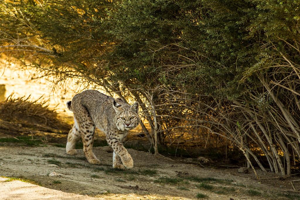 Bobcat at Terra Lago