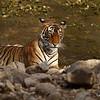 Tiger burrp