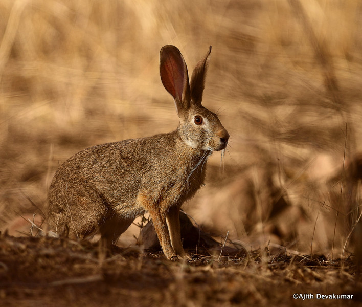 Indian Hare - fast, but no so furious :)