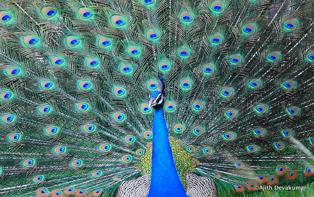 Peacock - in anticipation of the long-awaited rains