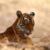 A moody tigress!