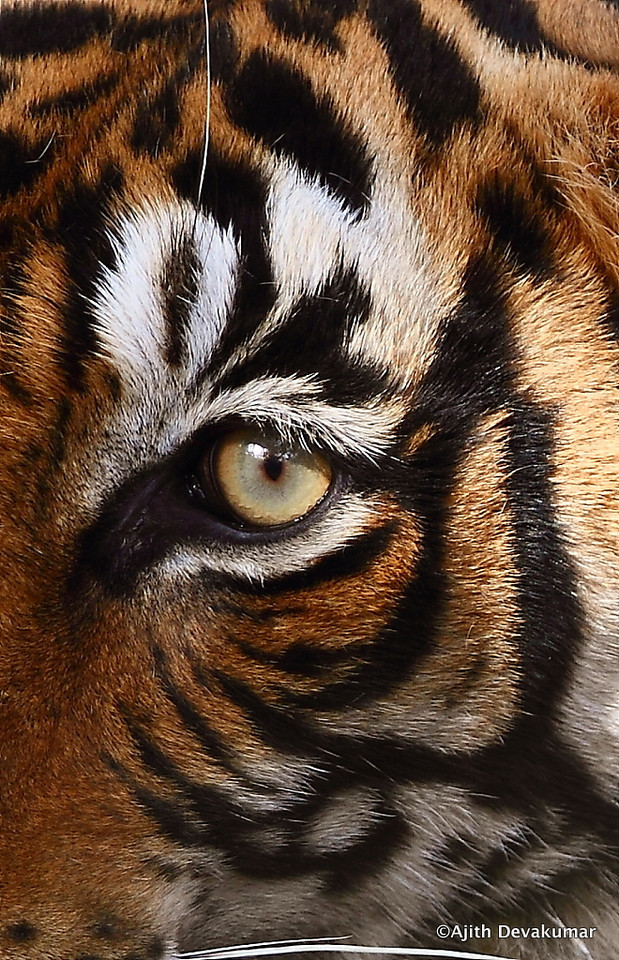 Eye of the Tiger!