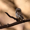 Spotted Owlet - lazy mornings