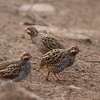 Jungle Bush Quail - foodwalk :)