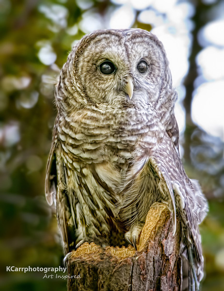 """Priscilla""<br /> Barred Owl"