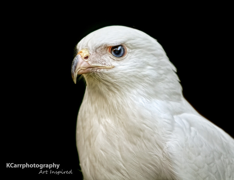 """Isis""<br /> Red-Tailed Hawk (Partial Albino)"