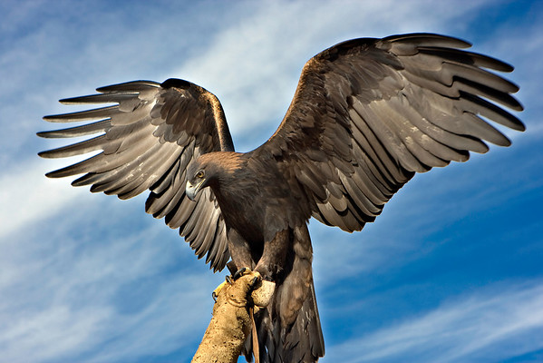 Golden Eagle #5 - 7 foot wing span