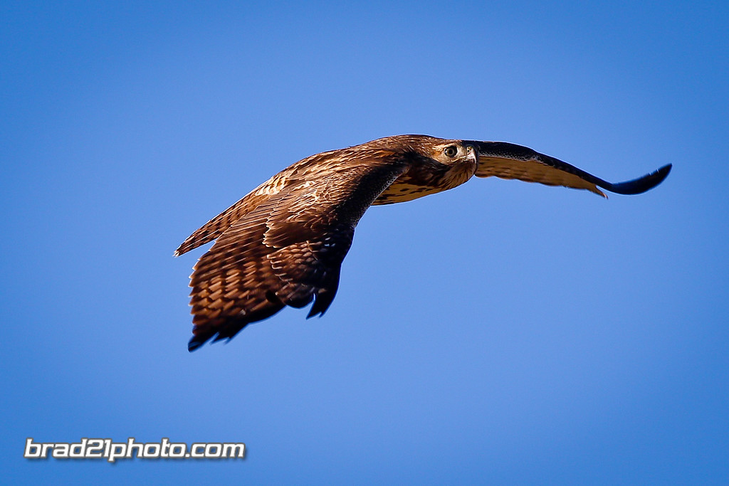 IMAGE: http://www.brad21photo.com/Animals/Raptors-1/i-gRRDdph/0/XL/7D_B1360-XL.jpg