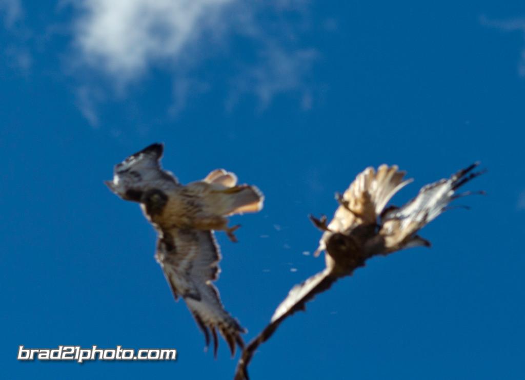 IMAGE: http://www.brad21photo.com/EverydayStuff/Raptors/i-xcb83WS/0/XL/IMG_4973-XL.jpg