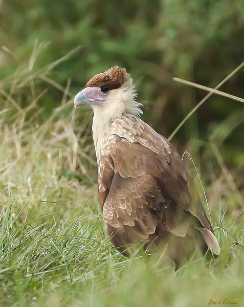 Juvenile Crested Caracara