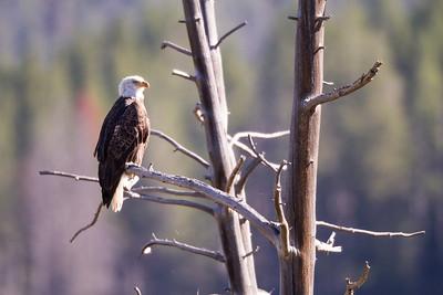 Bald Eagle Hayden Valley Yellowstone