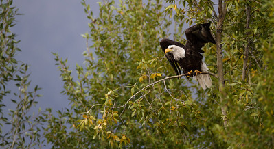 Bald Eagle Grand Tetons