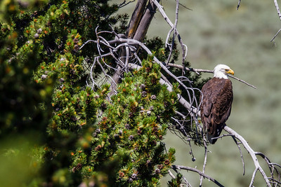 Bald Eagle - Grizzly Overlook Yellowstone