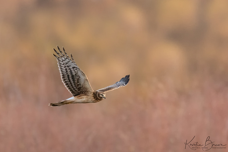 Northern Harrier (Environmental)