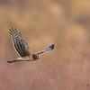 Northern Harrier (Environmental)
