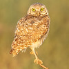 Burrowing Owl Sentry