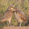 Burrowing Owl and Owlet Nuzzling