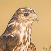 Harlan's Red-tailed Hawk (captive)