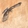 Female Northern Harrier on the hunt