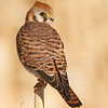 Golden Hour Female  American Kestrel