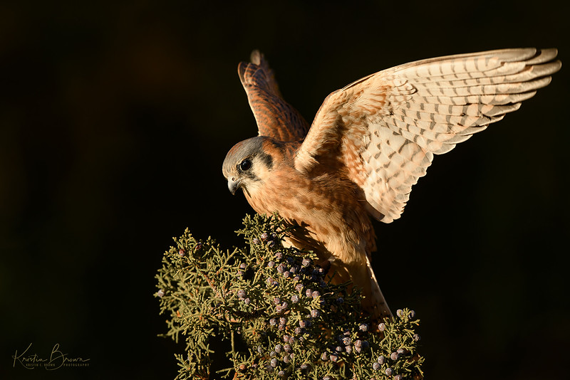 Female American Kestrel (Captive Avian Ambassador for Hawks Aloft)
