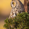 Long-eared Owl (captive avian ambassador for Hawks Aloft)