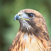 Red-tailed Hawk Portrait (Captive avian ambassador)