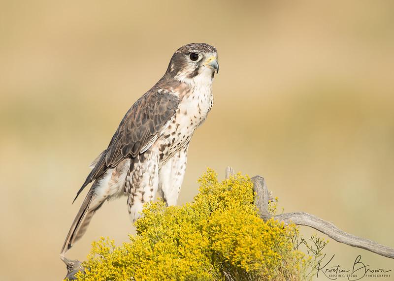 Prairie Falcon  (captive)