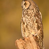 Long Eared Owl (Captive Avian Ambassador for Hawks Aloft)